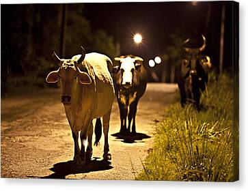 Cows Coming Home Canvas Print by Sarita Rampersad