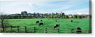 Cows Grazing In A Field With A City Canvas Print by Panoramic Images