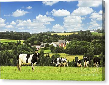 Cows In A Pasture In Brittany Canvas Print