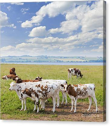 Cows In Pasture Canvas Print by Elena Elisseeva