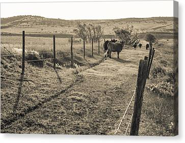 Cows In The Lane Canvas Print
