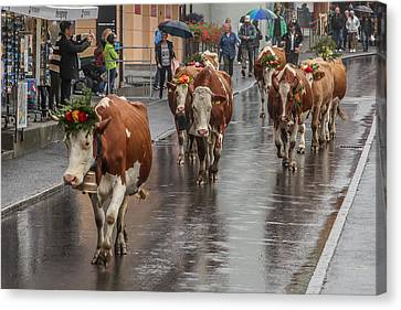 Wengen Canvas Print - Cows In Wengen Switzerland by Tom and Pat Cory