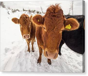 Cows In Winter Canvas Print by Ashley Cooper