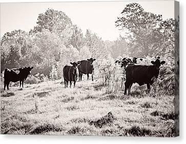 Cows Canvas Print by Karen Broemmelsick