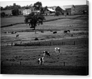 Cows On The Amish Farm Canvas Print by Dan Sproul