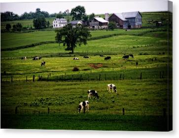 Cows On The Farm Amish Country Canvas Print by Dan Sproul
