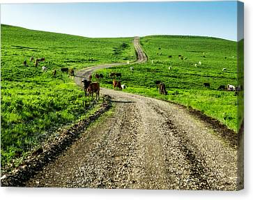 Cows On The Road Canvas Print by Eric Benjamin