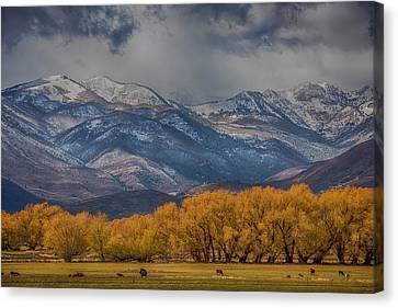 Cows Trees Mountains And Clouds Canvas Print by Paul Freidlund