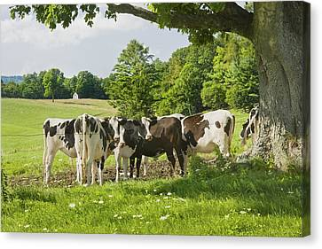 Cows Under Tree In Farm Field Summer Maine Photograph Canvas Print