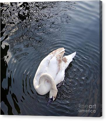 Coy Swan Canvas Print