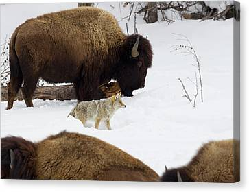 Coyote Among Bison Herd Canvas Print by Ken Archer