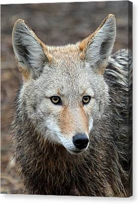 Canvas Print featuring the photograph Coyote by Athena Mckinzie