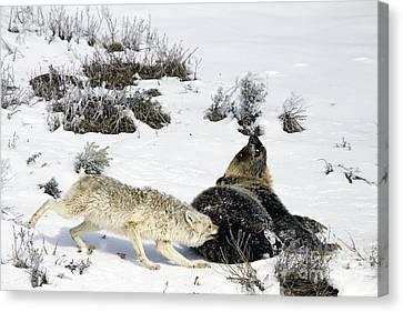 Canvas Print featuring the photograph Coyote Biting A Grizzly by J L Woody Wooden