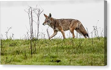 Coyote Canvas Print by Brian Williamson