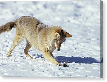 Coyote (canis Latrans Canvas Print by Richard and Susan Day