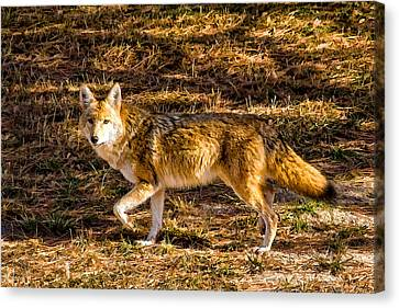 Coyote Canvas Print