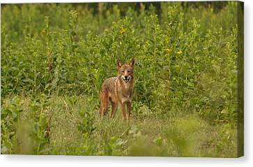Coyote Happy Canvas Print by Eric Liller