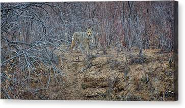 Coyote In The Brush Canvas Print by Britt Runyon