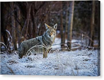 Coyote In The Meadow  Canvas Print