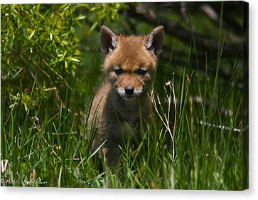 Canvas Print featuring the photograph Coyote Pup by Mitch Shindelbower