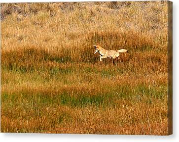 Coyote Pup Canvas Print by Rebecca Adams
