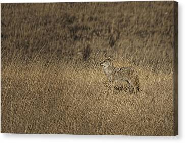 Coyote Standing In Field Of Dried Canvas Print by Roberta Murray