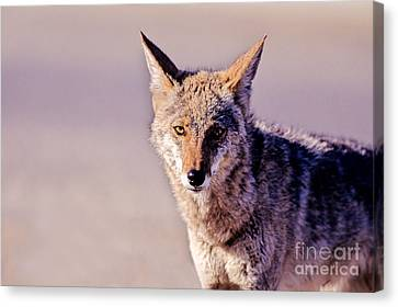 Coyote Stares Canvas Print
