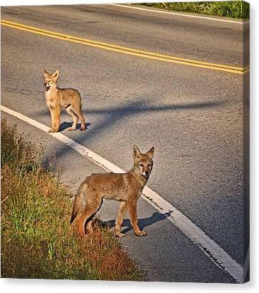 Canvas Print featuring the photograph Coyotes At The Crossroads by Peggy Collins