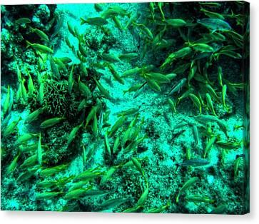 Cozumel - Grunt Fish 001 Canvas Print by Lance Vaughn