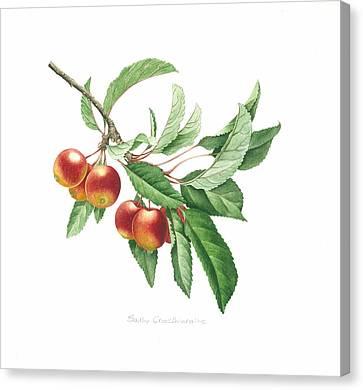 Crab Apple Canvas Print by Sally Crosthwaite