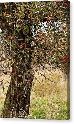 Crab Apples Canvas Print by Nicki McManus