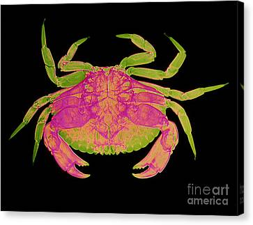 Crab Canvas Print by D Roberts