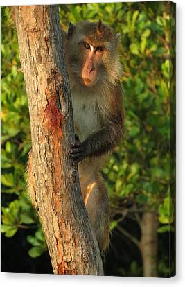 Crab Eating Macaque Canvas Print by Ramona Johnston