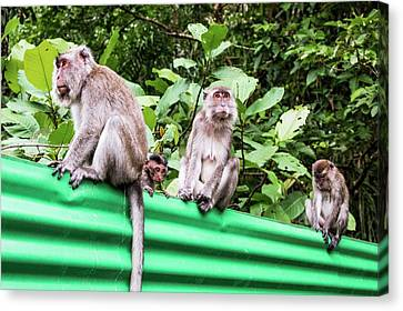 Crab-eating Macaques Canvas Print by Paul Williams