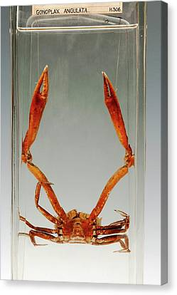 Crab Specimen Canvas Print by Ucl, Grant Museum Of Zoology