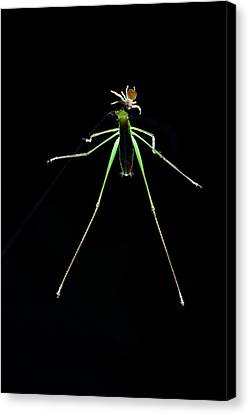 Crab Spider And Katydid Canvas Print
