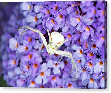 Crab Spider On A Buddleia Flower Canvas Print by Louise Murray