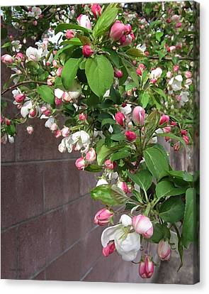 Crabapple Blossoms And Wall Canvas Print by Donald S Hall
