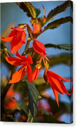 Blue Begonia Canvas Print - Crackling Fire Begonia by Christina Rollo