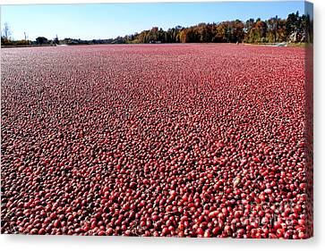 Cranberry Bog In New Jersey Canvas Print by Olivier Le Queinec