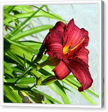 Cranberry Colored Lily Canvas Print by Kay Novy