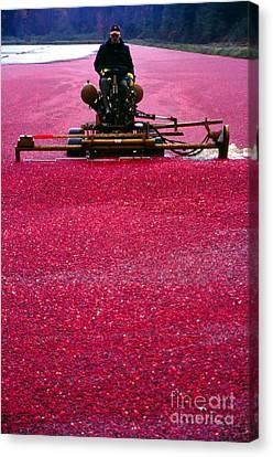 Cranberry Harvest Canvas Print by Eva Kato
