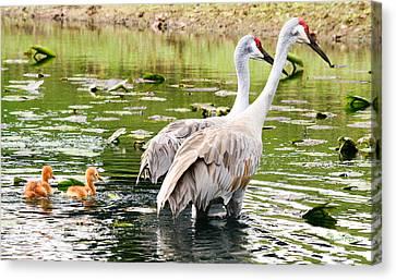 Crane Family Goes For A Swim Canvas Print by Susan Molnar