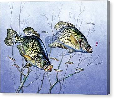 Crappie Brush Pile Canvas Print by JQ Licensing