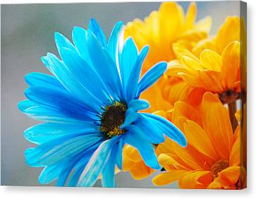 Crazy Daisies Canvas Print