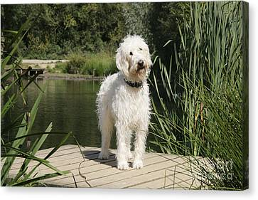 Cream Labradoodle Canvas Print by John Daniels