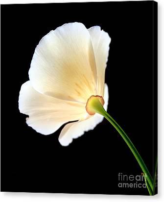 Cream Poppy Glow Canvas Print