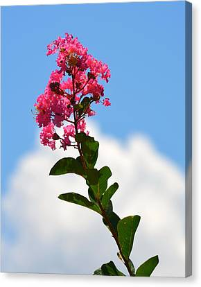 Crepe Myrtle Against The Sky Canvas Print