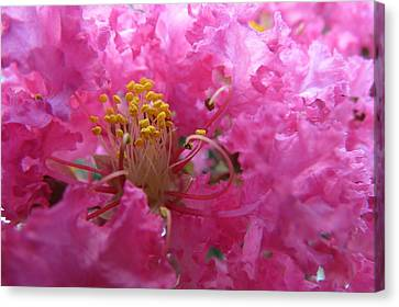 Crepe Myrtle In The Middle Canvas Print by Fortunate Findings Shirley Dickerson