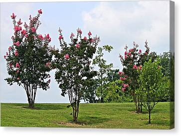Crepe Myrtle Trees Canvas Print by Carolyn Ricks